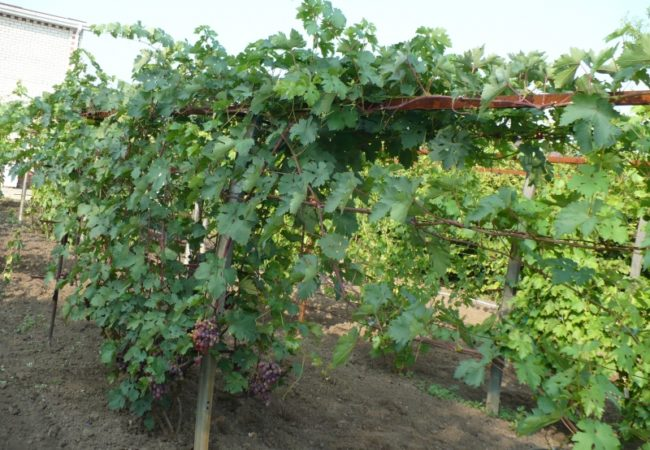 Куст винограда на металлической шпалере и грозди темно-фиолетовых ягод на нижних ветках