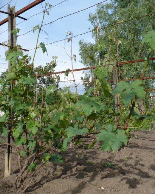 Зеленые побеги винограда текущего года, подвязанные к проволочной шпалере