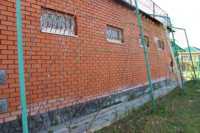 Виноградная лоза на высокой шпалере вдоль кирпичной стены гаража
