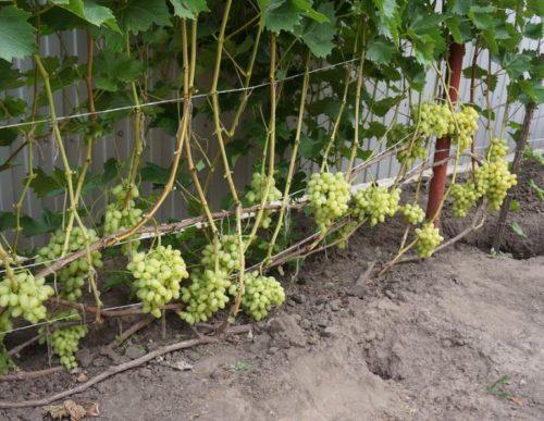 Виноградная лоза столового сорта Настя под нормированной нагрузкой