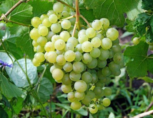 Крупная гроздь винограда гибридной формы Настя с плодами бледно зеленого окраса