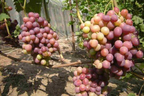 Грозди гибридного винограда Низина в начальной стадии окрашивания плодов
