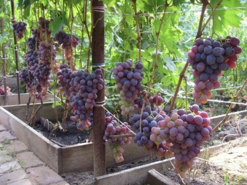 Виноградная лоза сорта Низина под нагрузкой в две кисти на побег