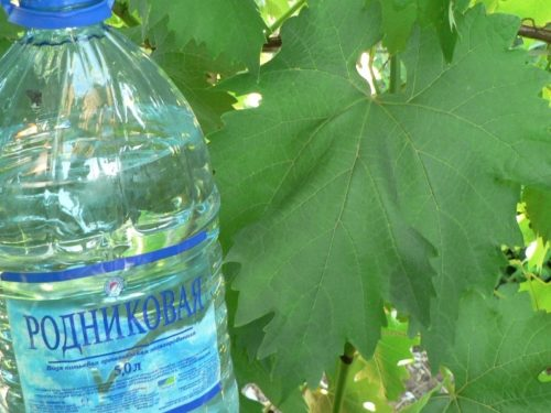 Крупный зеленый лист винограда гибридного сорта Низина и пластиковая бутылка