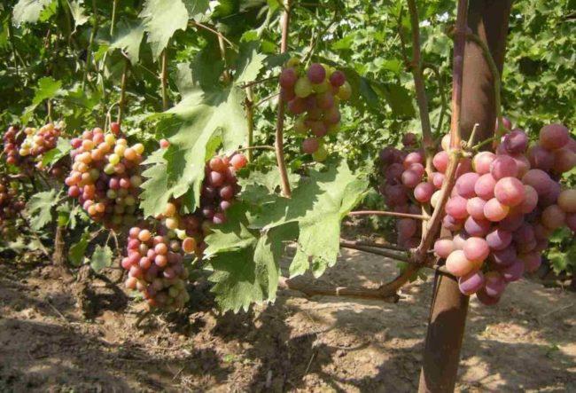 Виноградная лоза на шпалере с гроздьями розово-фиолетовых плодов