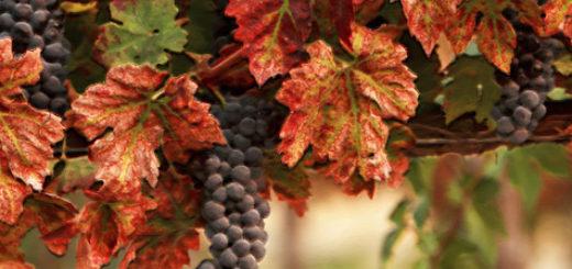 Спелые грозди винограда вблизи на кусте в осенний период времени