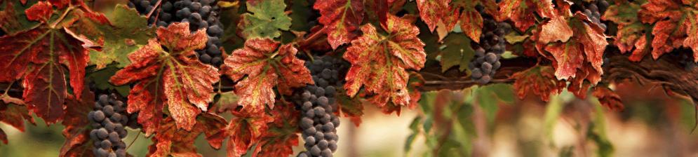 Лучшие советы по обработке винограда осеню
