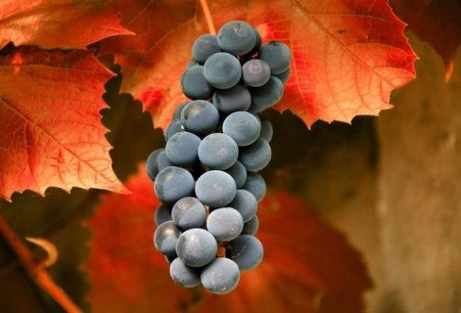 Кисть синего винограда на фоне осенних листьев красно-оранжевого окраса