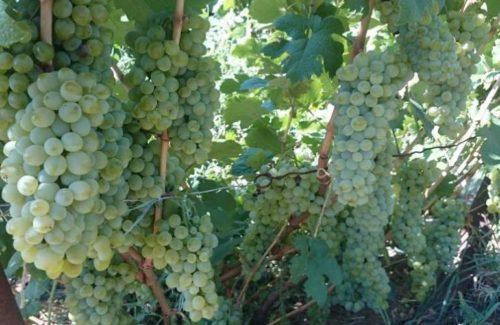 Куст винограда сорта Пухляковский с гроздьями созревающих плодов
