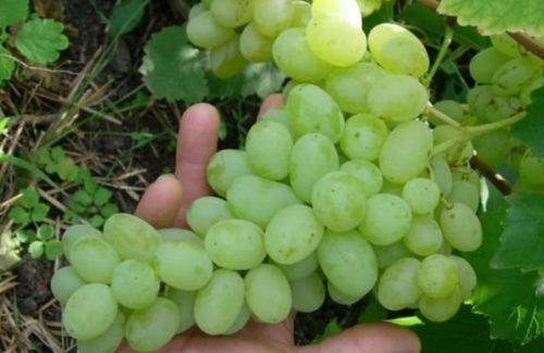 Гроздь винограда сорта Пухляковский селекции Потапенко