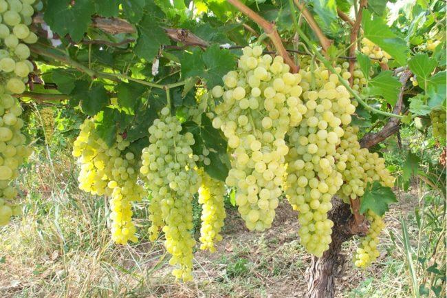 Большие грозди винограда висят на кусте