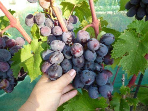 Гроздь винограда гибридного сорта Руслан с ягодами темно-синего окраса