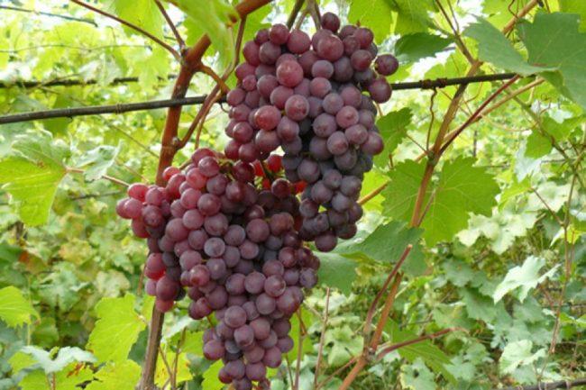 Две крупные кисти столового винограда Русский Ранний с шаровидными ягодами