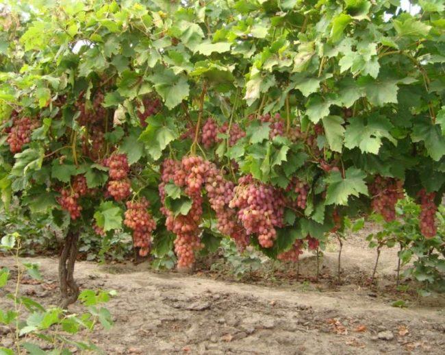 Куст винограда с тяжелыми гроздьями созревающих ягод в промышленном винограднике