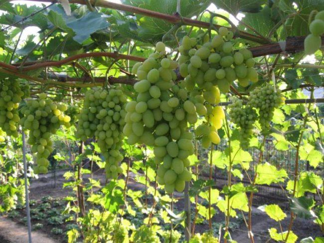 Грозди спелого винограда на ветках, растущих на арочной шпалере
