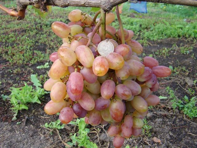 Кисть винограда столового сорта Виктор с красивыми вытянутыми плодами