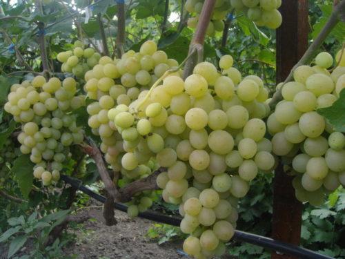 Крупные грозди винограда сорта Столетие американской селекции