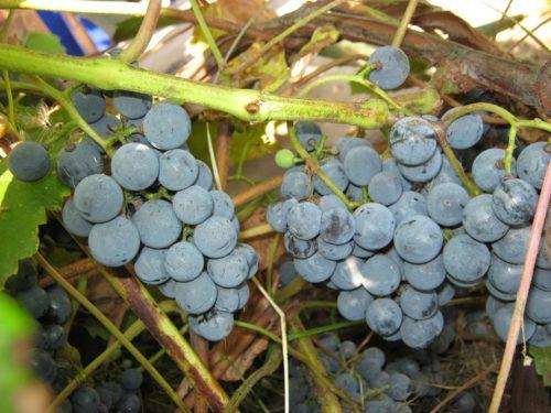 Грозди винограда сорта Таежный с шаровидными ягодами темно-синего цвета