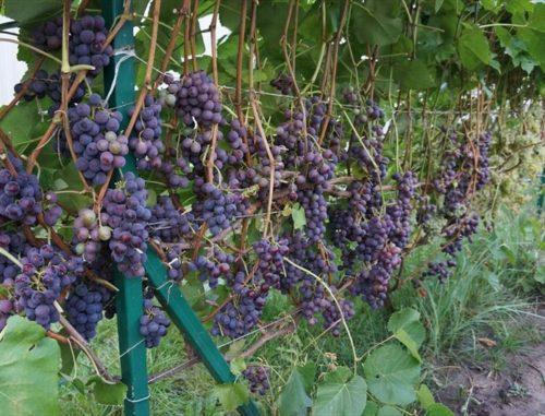 Виноград «Таёжный» — сорт для проблемного региона