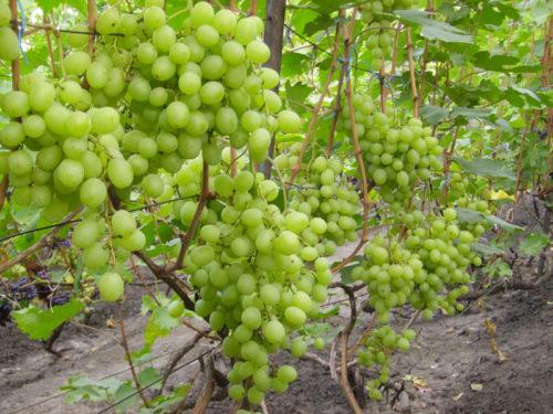 Виноградная лоза под нагрузкой, гибридный сорт Талисман столового предназначения