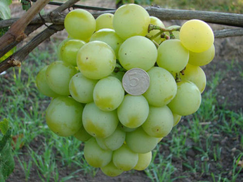 Гроздь винограда Талисман с шаровидными ягодами светло-зеленого цвета и монетка