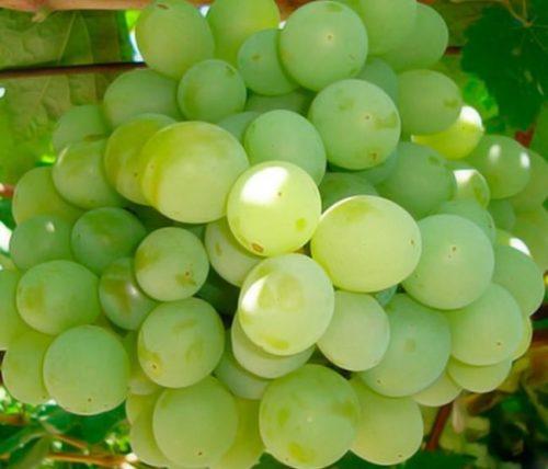 Плоды винограда гибридной формы Талисман среднего срока созревания