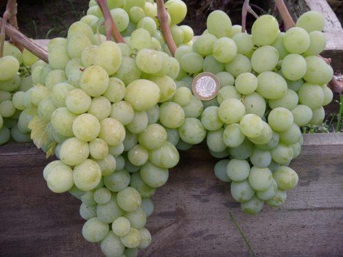 Две объемный грозди столового винограда сорта талисман и монетка номиналом в 10 рублей