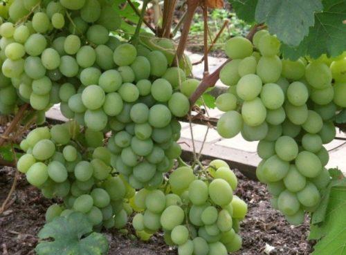 Виноградные кисти гибридной культуры Талисман на шпалере