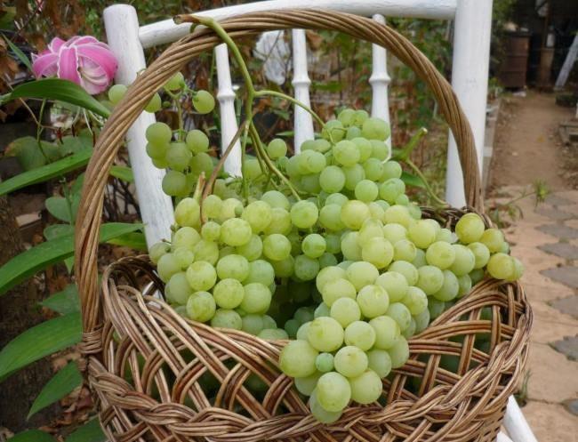 Крупные грозди столового винограда в плетенной корзине на стуле в саду