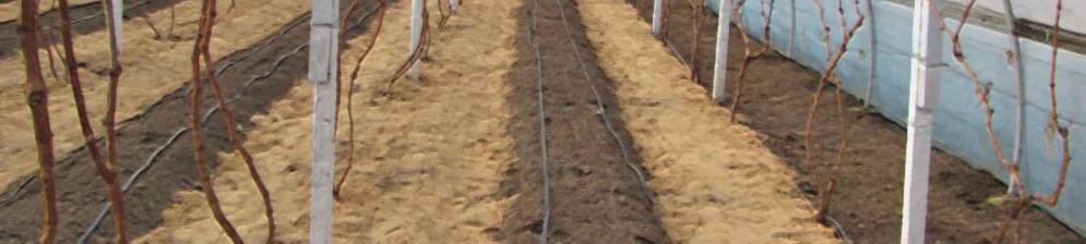 Виноград в теплице замульчирован