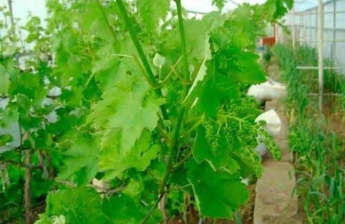 Зелёные кустарники винограда произрастают в теплице