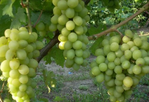 Грозди гибридного винограда Валек с плодами зеленоватого оттенка