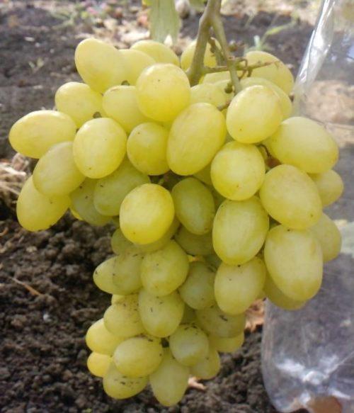 Гроздь винограда гибридной формы Валек с овальными ягодами