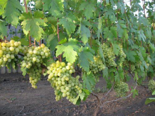 Куст столового винограда сорта Валек под нагрузкой