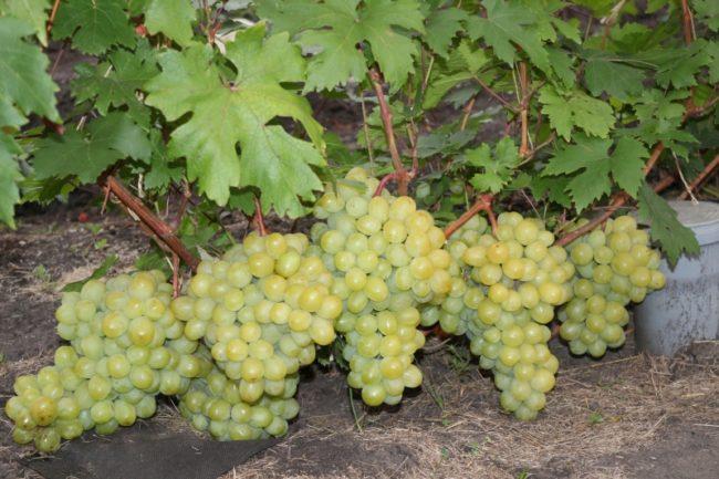 Крупные гроздья столового винограда сорта Валек на ветке около поверхности земли