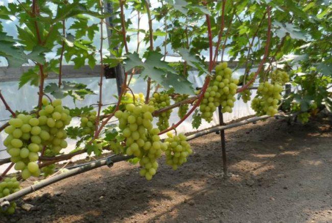 Шпалера с виноградной лозой вдоль капитальной стены и крупные кисти зреющих ягод