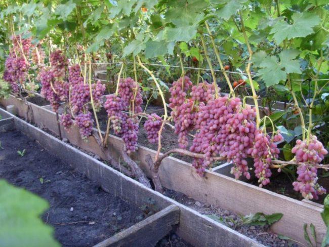Урожай винограда Велес