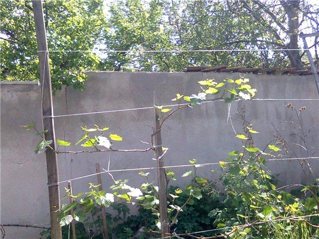 Виноградная лоза с раскрывающимися почками ранней весной и деревянная шпалера
