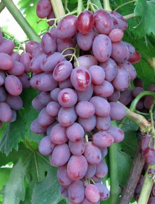 Крупная гроздь спелого винограда гибридного сорта Виктор селекции Крайного