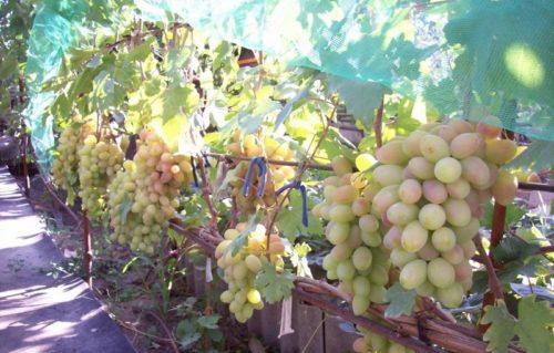 Куст винограда гибридной формы Виктор под нагрузкой