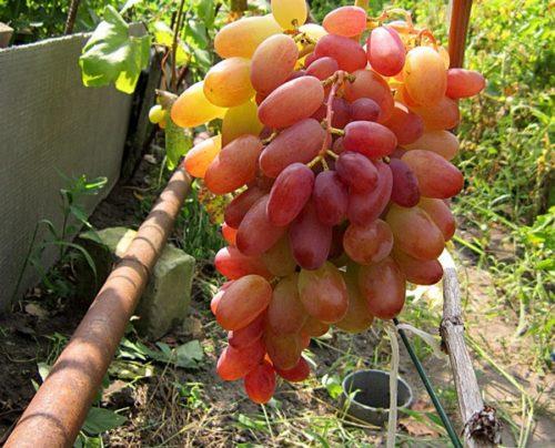 Кисть столового винограда сорта Виктор с ягодами желто-красного окраса