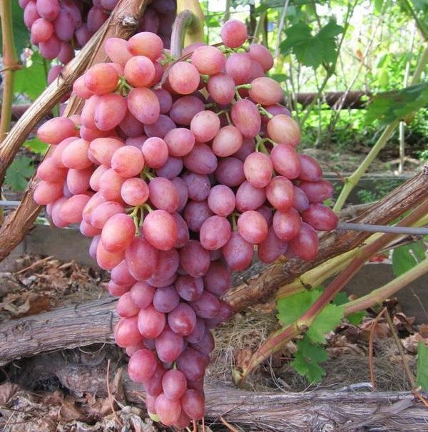 Красивая гроздь винограда Виктор с ягодами фиолетово-сиреневого цвета