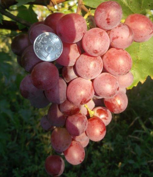 Гроздь столового винограда гибридного сорта Воевода с овальными ягодами