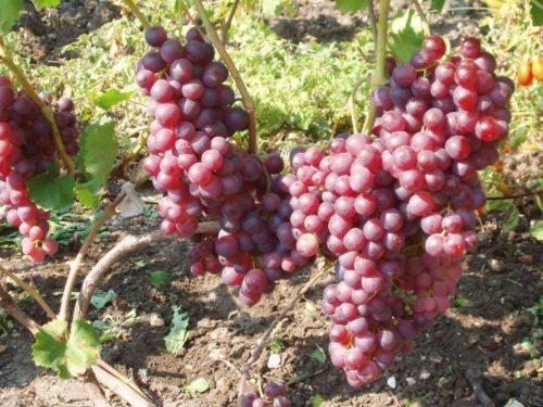 Виноградная лоза гибридной формы Воевода селекции садовода-любителя Литвинова
