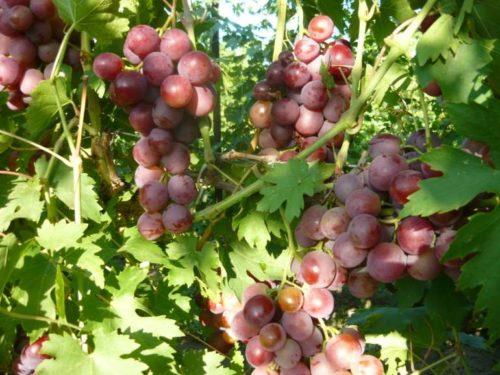 Кисти созревающего столового винограда гибридной формы Воевода