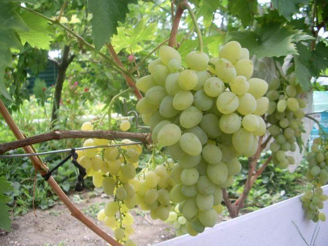 Грозди белого столового винограда на лозе, выращенной на приусадебном участке