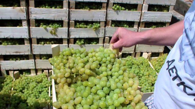 Собранный урожай винограда Восторг в деревянных ящиках