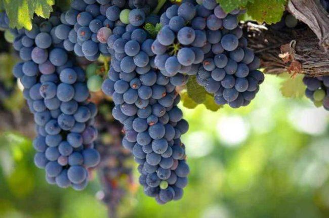 Спелые грозди винограда сорт Зилга