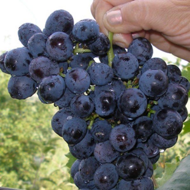 Женская рука держит кисть винограда сорта Муромец
