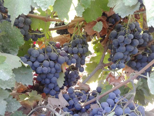 Ветки столового винограда и грозди созревающих ягод темного окраса